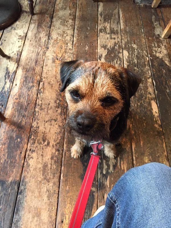 Pin By Maggie Mulherin On Border Terriers Border Terrier Brown