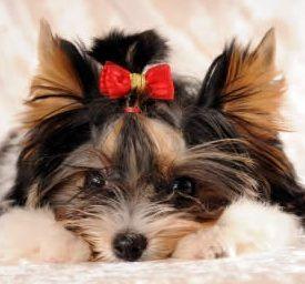 Female Yorkie Puppy Biewer Yorkie Yorkie Puppy Yorkshire Terrier