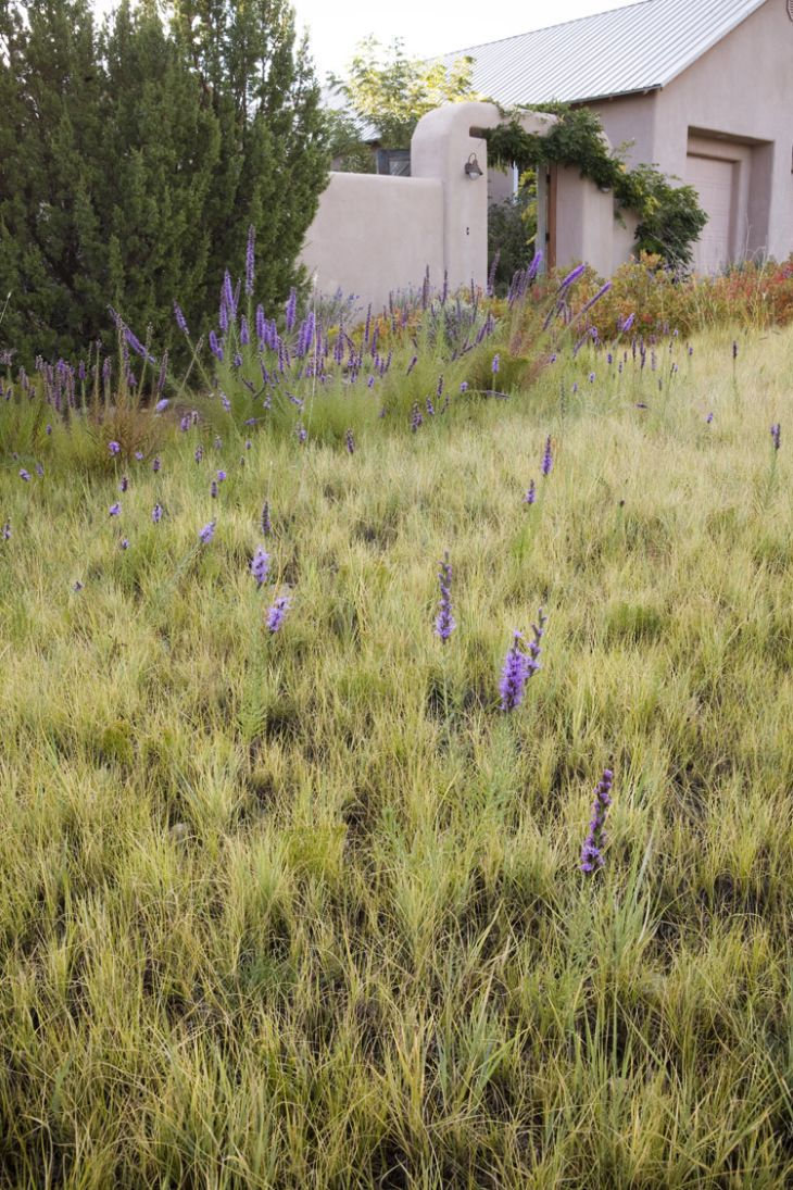 Blue lyme grass blue dune - Lawn Substitute Front Yard Base Grasses Of Blue Grama Grass Bouteloua Gracilis And Spiky