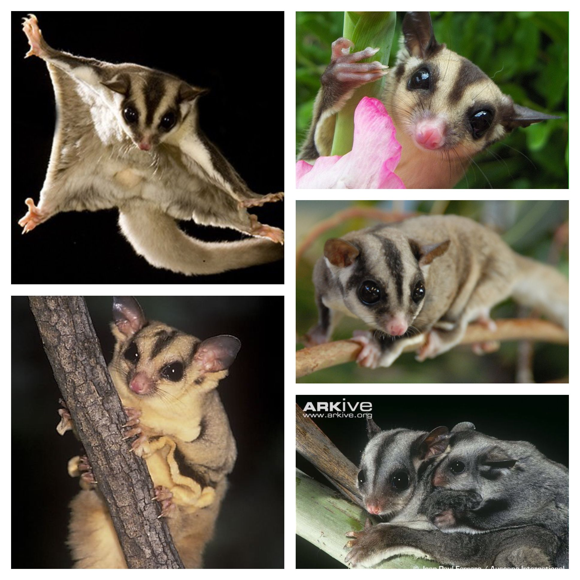 The sugar glider is a small, omnivorous, arboreal, and nocturnal ...