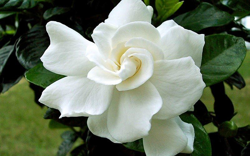 Gardenia Jasminoides August Beauty Cape Jasmine In 2020 Gardenia Plant Fragrant Flowers August Beauty Gardenia