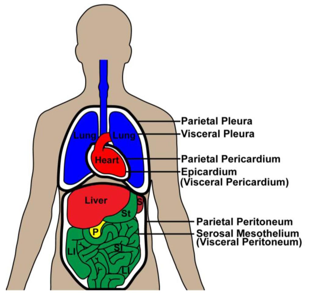 pericardium- heart, peritoneum- digestive, pleura- lungs | Human ...