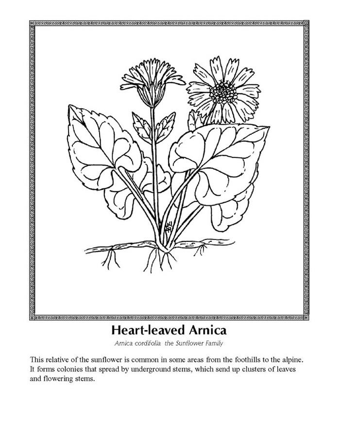 Heart Leaved Arnica Coloring Pages Color Wild Flowers
