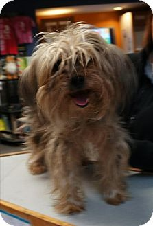Yorkie Yorkshire Terriersilky Terrier Mix Dog For Adoption In