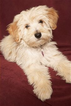 Grooming Havanese Dogs Family friendly dogs, Friendly