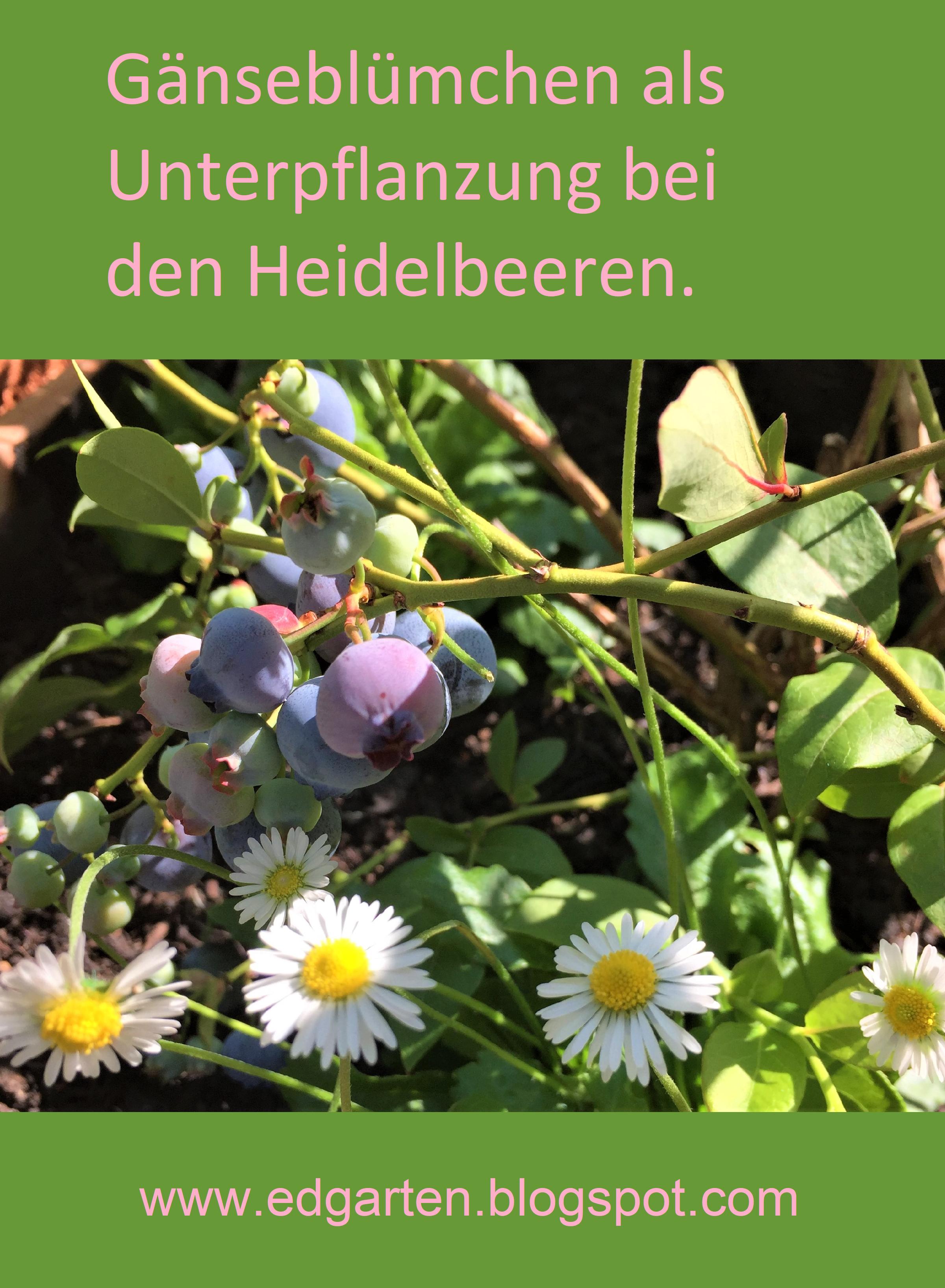 Heidelbeeren In Pink Und Blau Edgarten Heidelbeeren Pink Und