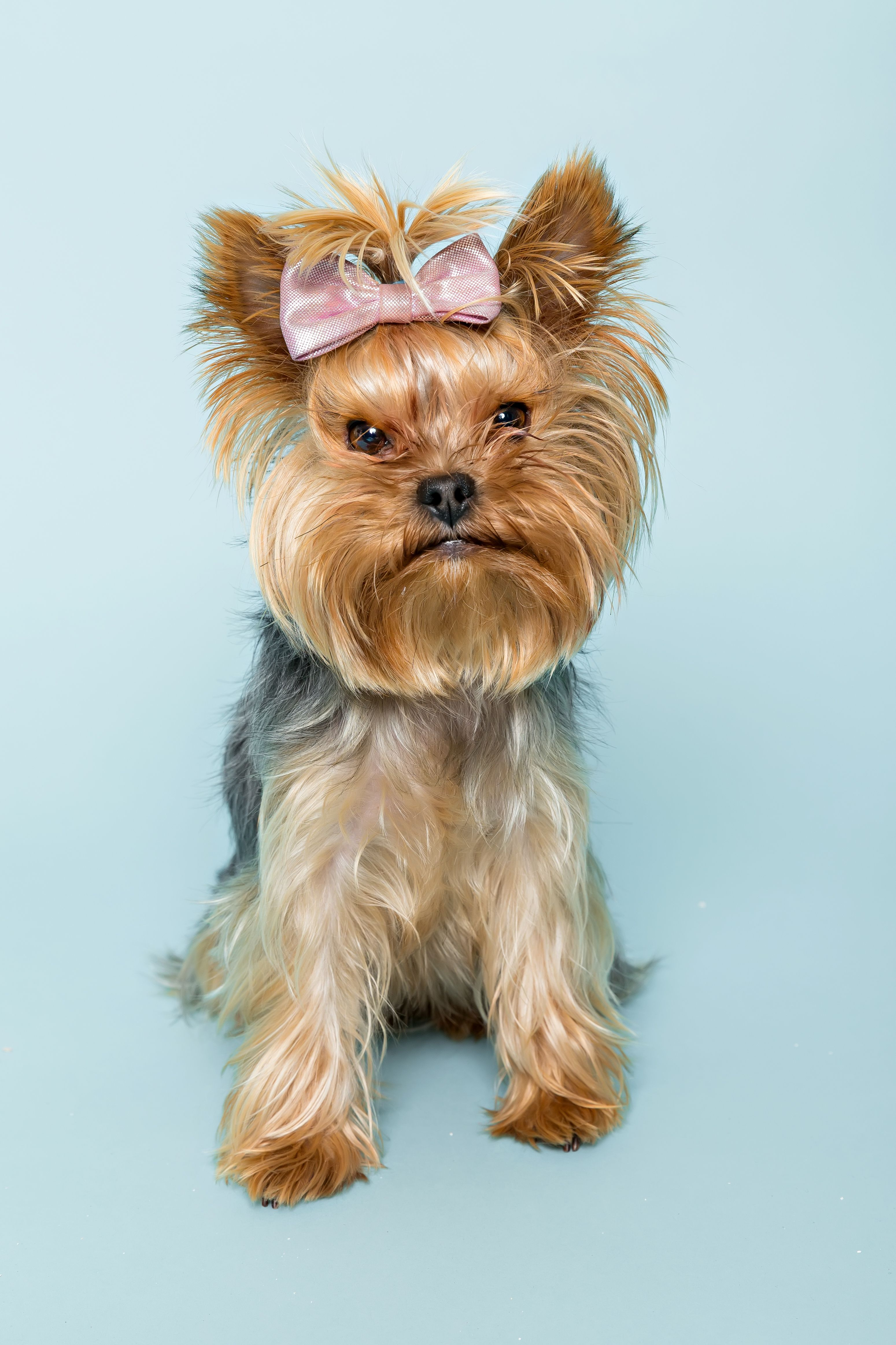 Mad For Cute Yorkshire Terrier With Pink Bow Over The Blue Background Puppy Dog Yorkie Yorkshire Terrier Yorkshire Terrier Yorkie