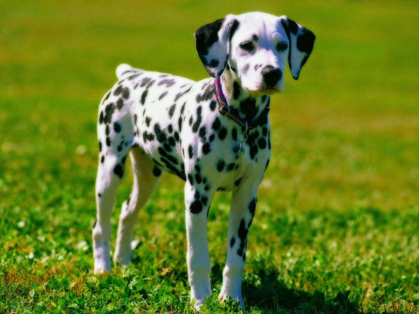 17 Best Images About Binatang On Pinterest Dalmatians Aliens