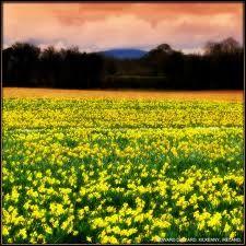 Daffodils in Kilkenny