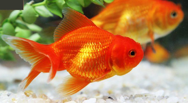Goldfish Turn To Alcohol To Survive Harsh Winter In Icy Lakes Goldfish Fish Wallpaper Fish