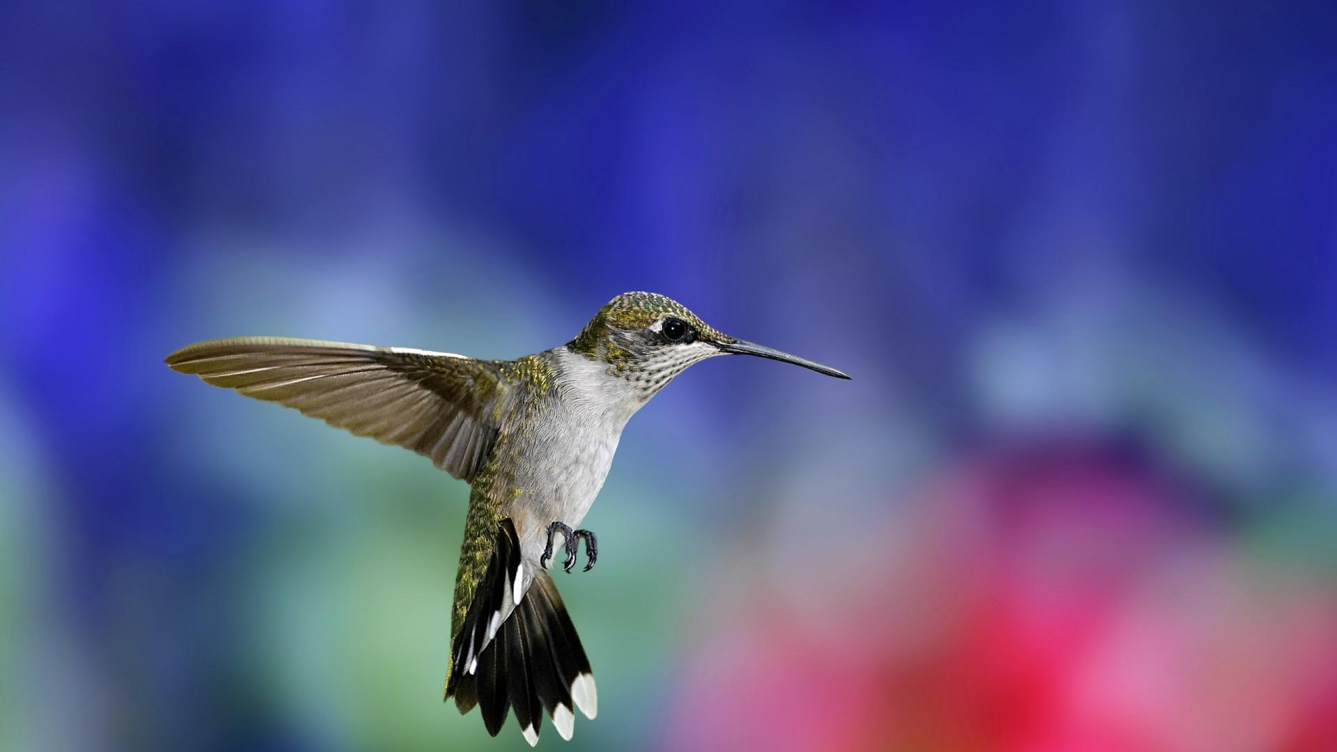 free hummingbird wallpapers wallpaper hd wallpapers pinterest