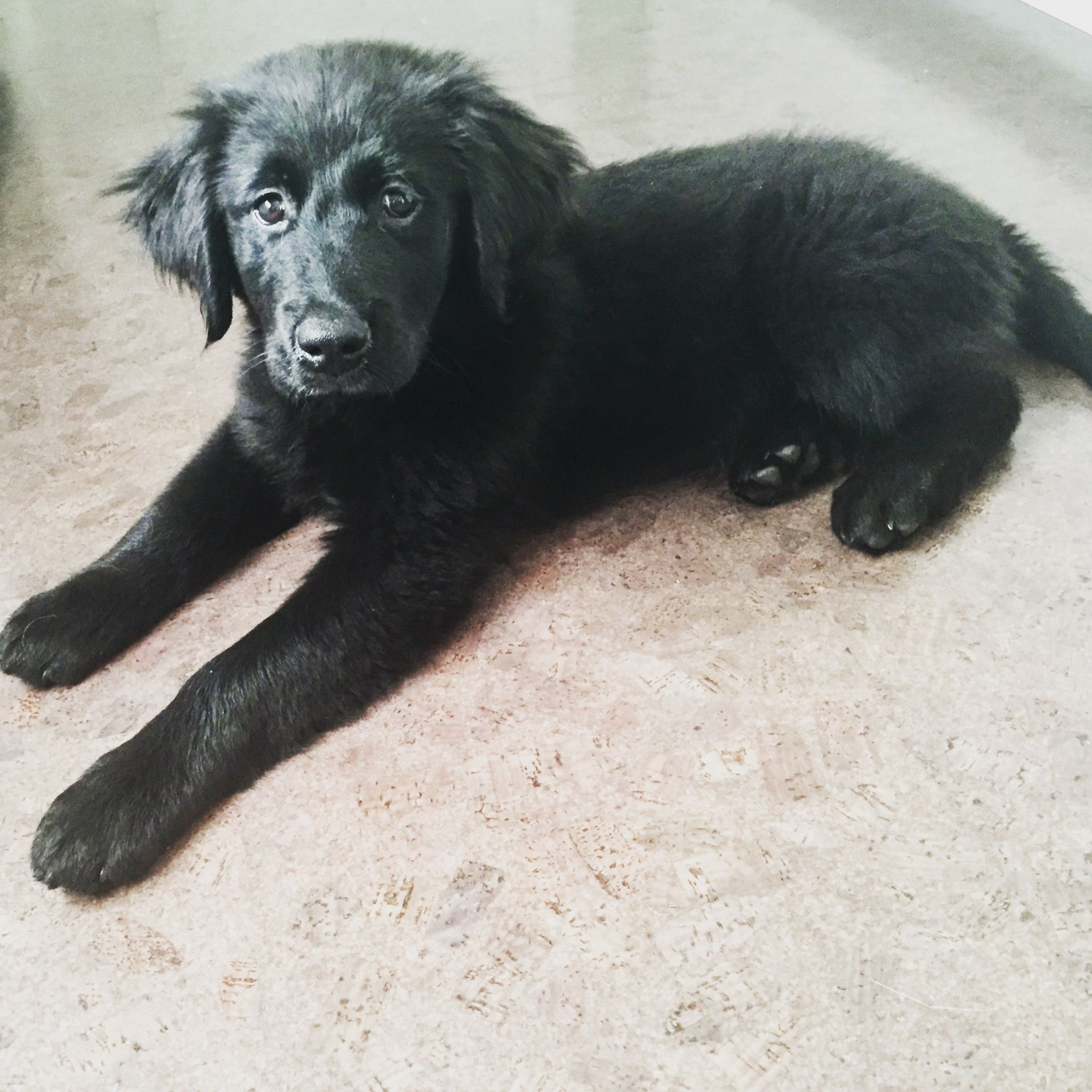 Puppy Black Lab Golden Retriever Mix Retriever Puppy Golden Retriever Mix Puppies Dogs Golden Retriever