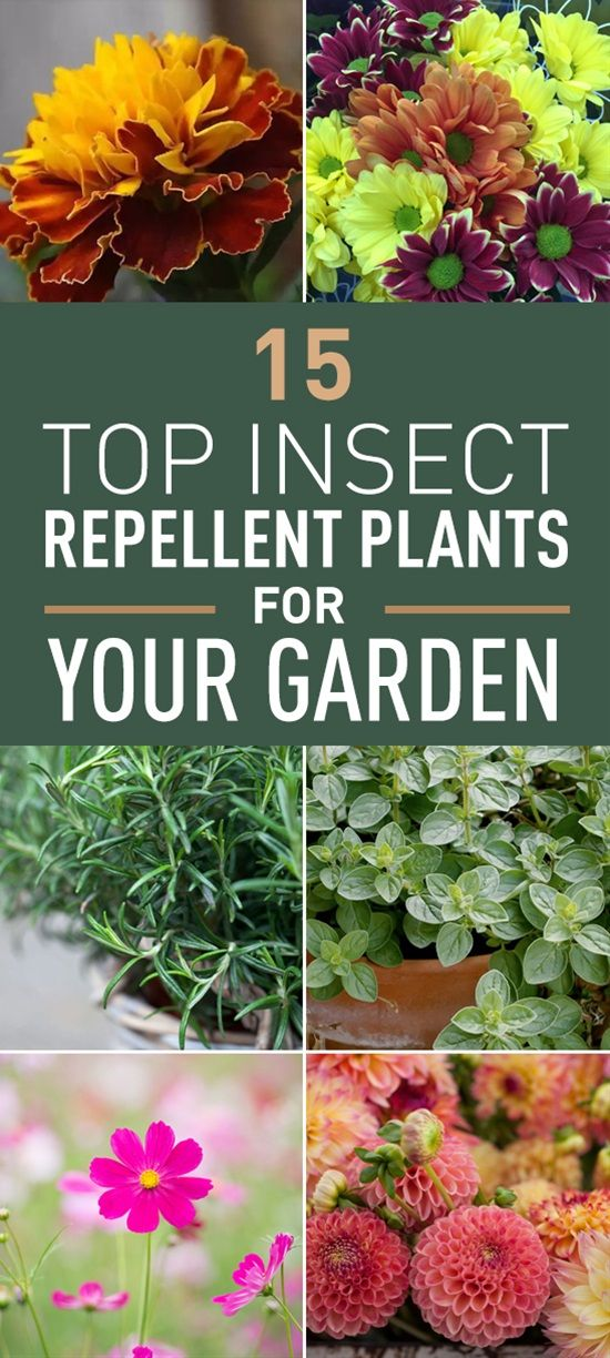 15 Top Insect Repellent Garden Plants That Will Keep Annoying