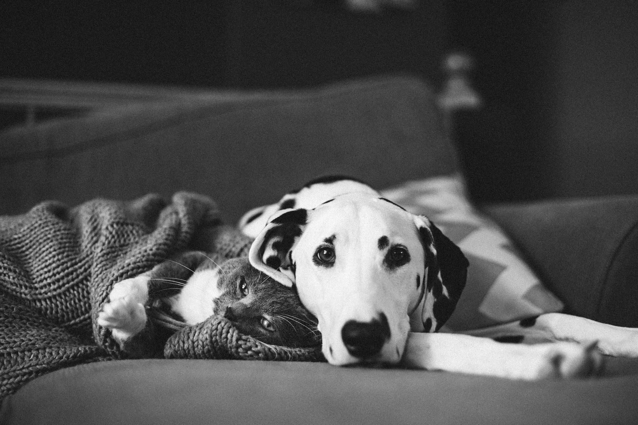 Dalmatian Rachel Ebel Photography Dogs Pet Corner Cat Day