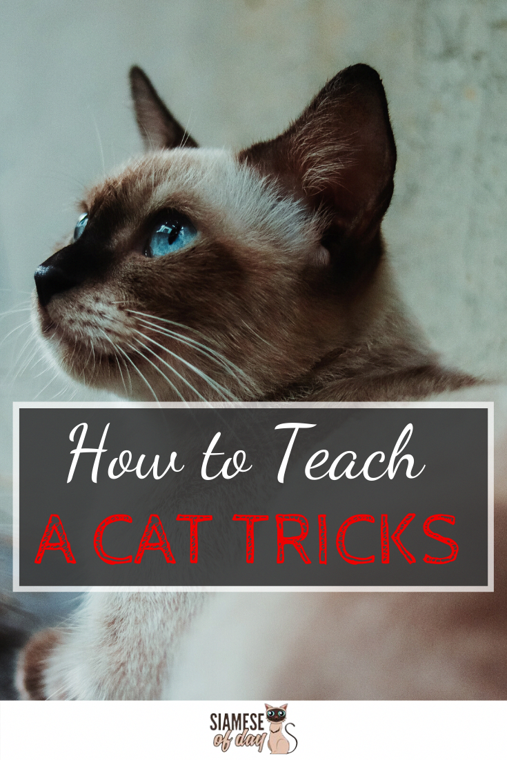 How To Teach A Cat Tricks In 2020 Cat Hacks Cat Training Siamese Cats