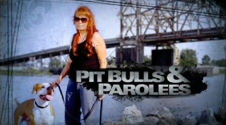 Nov2 9 Central Pit Bulls Parolees American Bulldog Mix Animal Planet