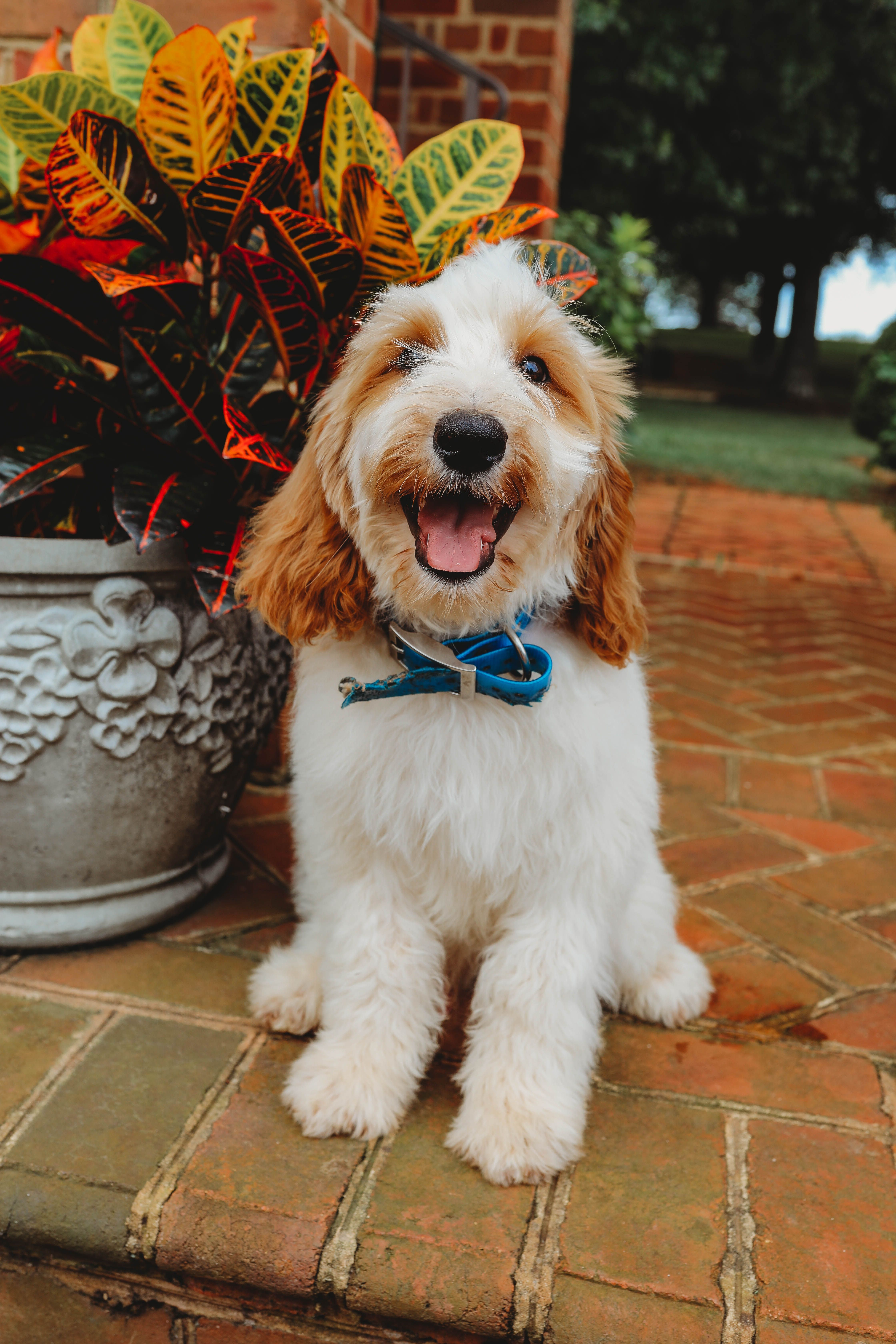 This Is Frankie He Is A Goldendoodle Male Currently Enrolled In Our Advanced Training Program Our Program Foc Goldendoodle Emotional Support Dog Labradoodle
