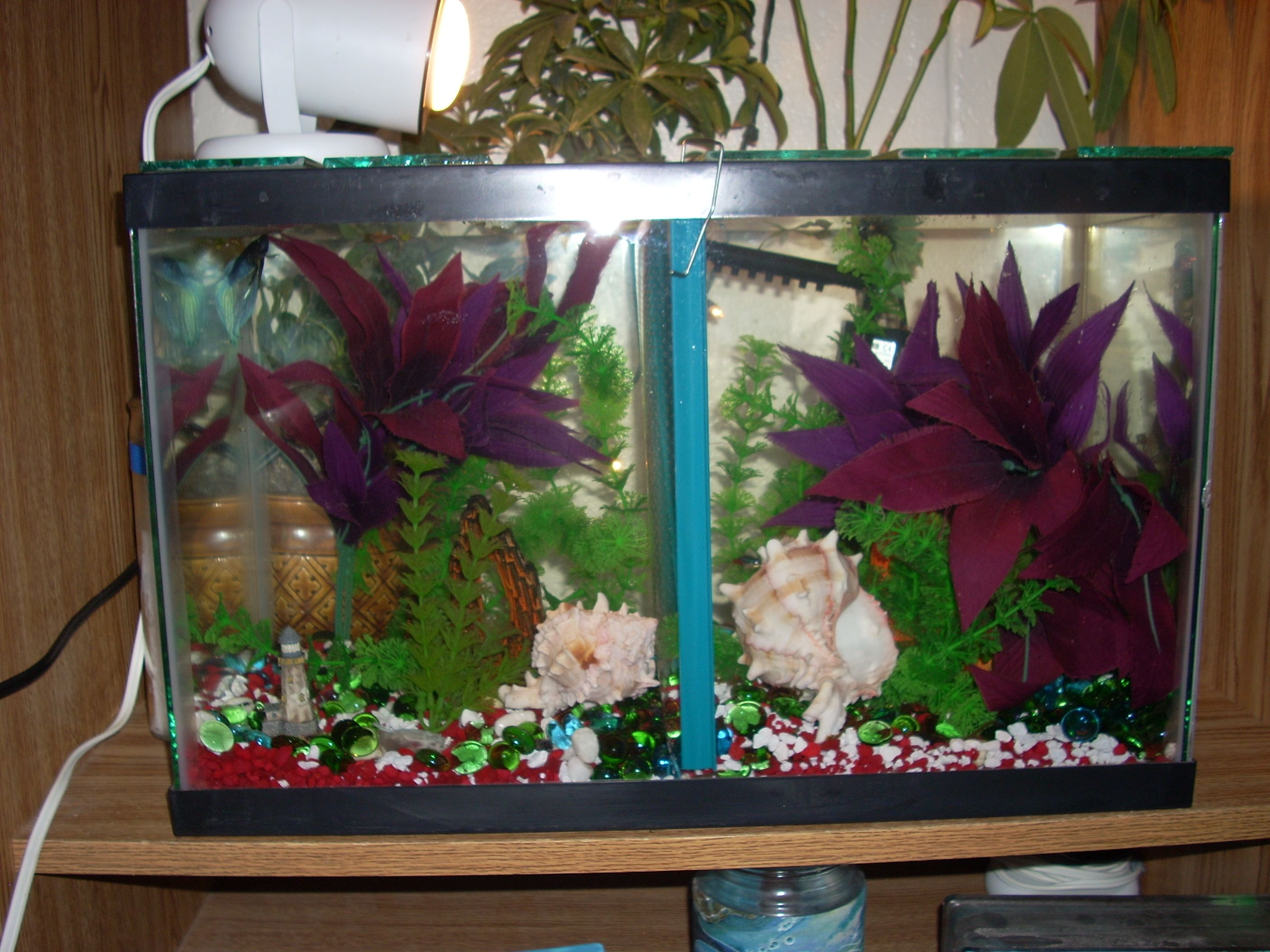 20 gallon tank divided in two for two look alike betta s course