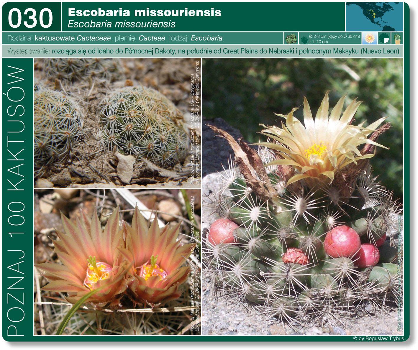 Escobaria Missouriensis Plantas Suculentas Plantas Suculentas