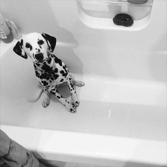 Resultado de imagen para dalmatian bath time