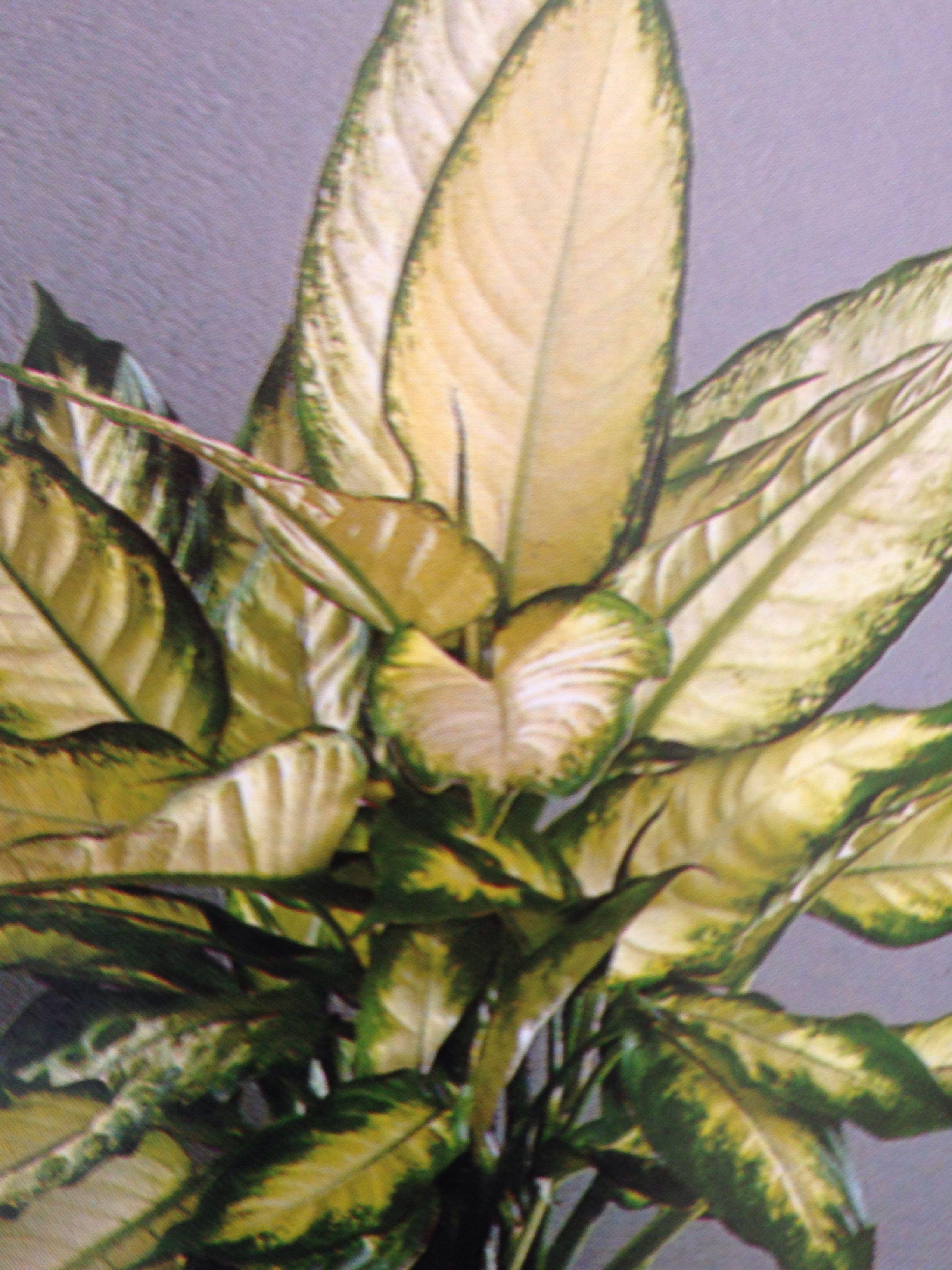 Diffenbacchia maculata cuidado es una planta peligrosa for Planta ornamental venenosa dieffenbachia