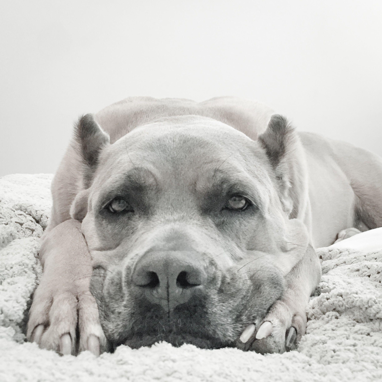 Cane Corso Italian Mastiff Fira Formentino Dogs