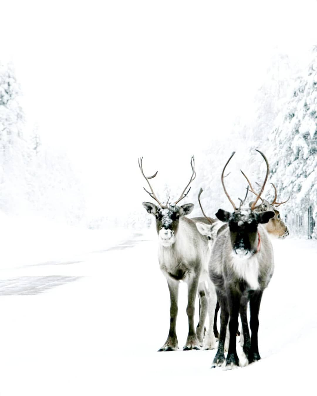 Reindeer's on the road on our way to Ranua Wildlife Park