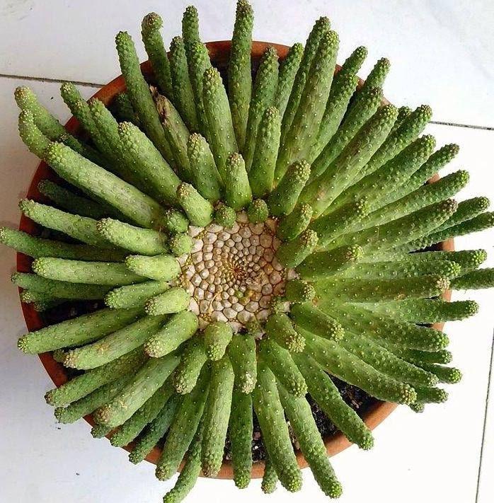 Euphorbia Esculenta · Piante Senza RadiciAgaviRiproduzione ...