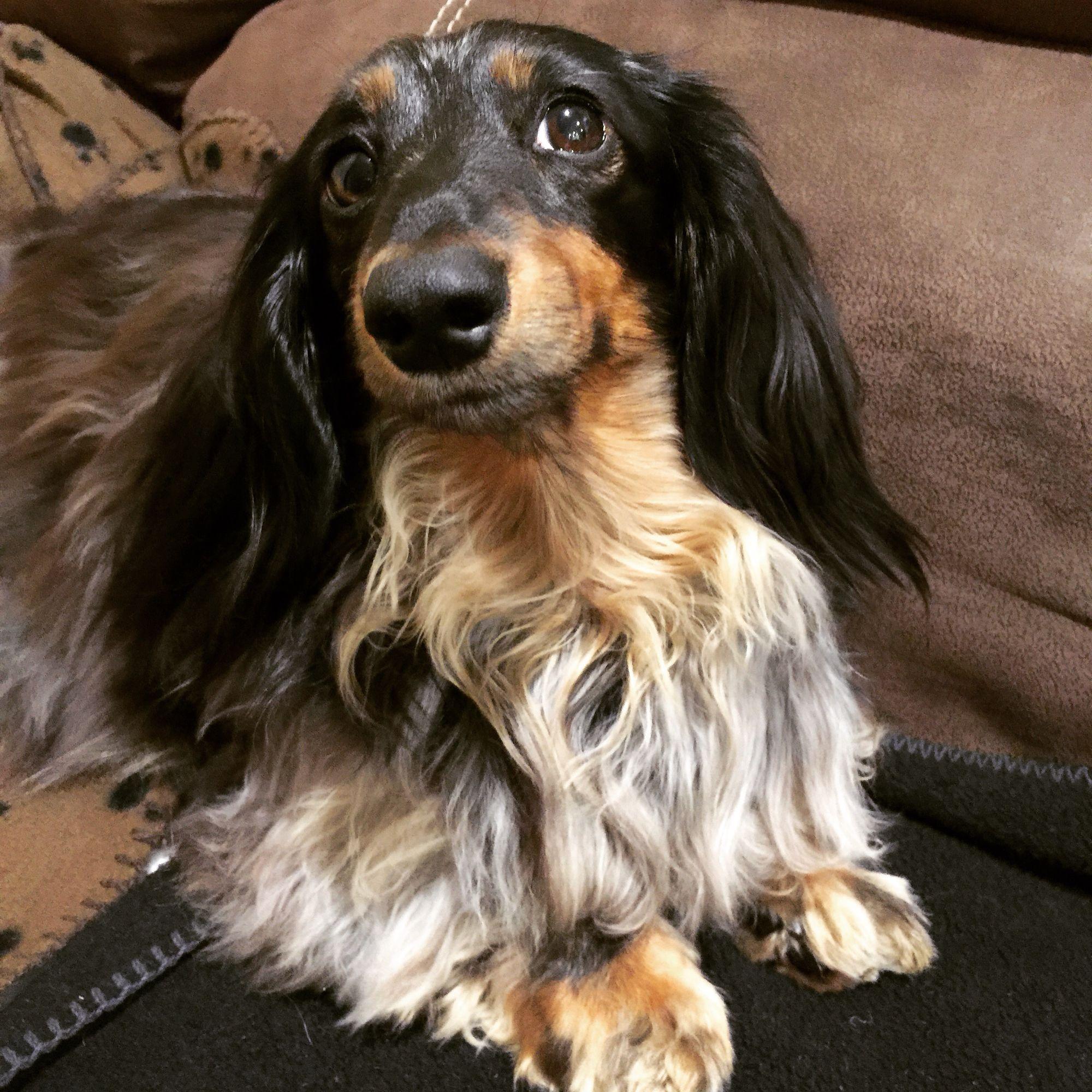 Long haired silver dapple dachshund Abby! Dapple