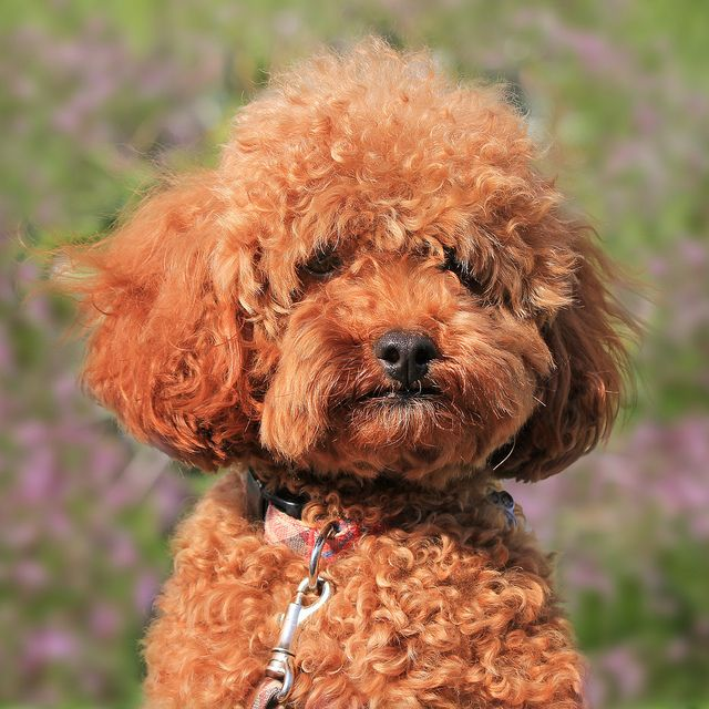Curly Hair French Poodle Curly Dogs Brown Dog Poodle Hair