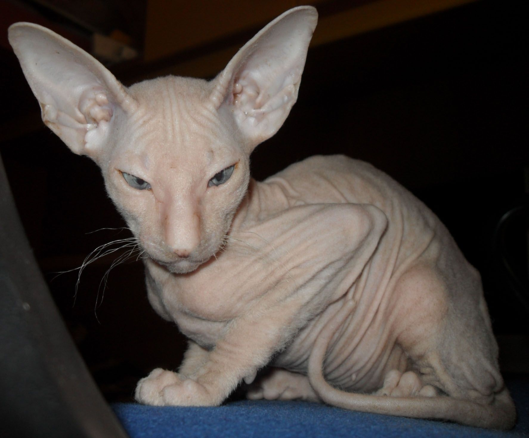 1 Beautiful Canadian Sphynx Kitten For Sale Hornchurch Essex Pets4homes Sphynx Kittens For Sale Kitten For Sale Cat Training