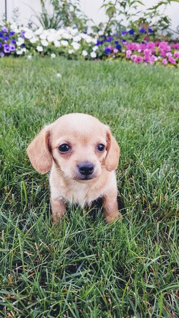Chihuahua Weimaraner Mix Puppy For Sale In Dundee Oh Adn 35404