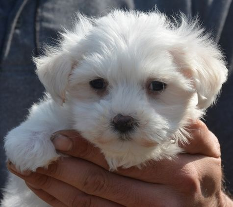 Adorable Maltichon little girl (With images) Puppies
