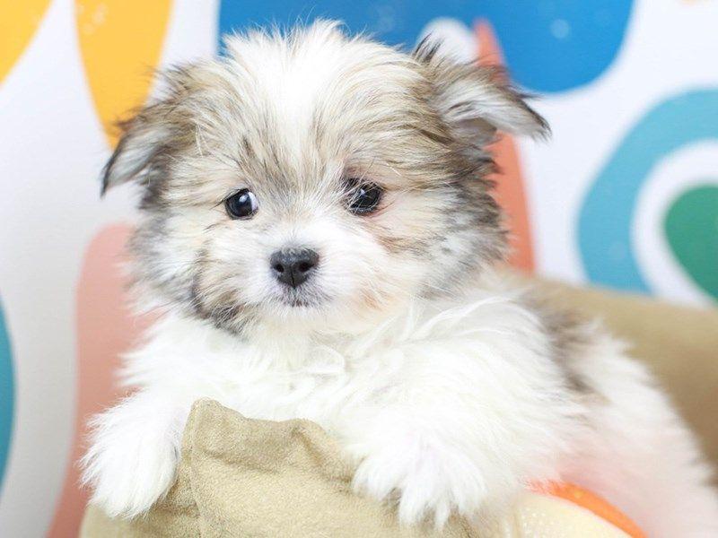Checkout This Cute Malti Pom 23623 At Animal Kingdom Puppies