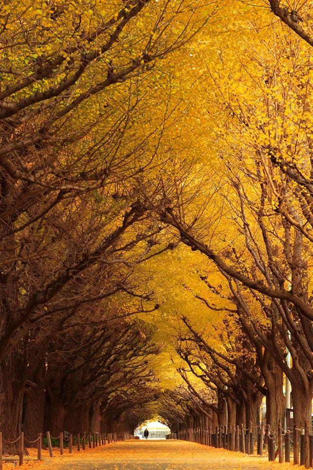 Árvores Ginkgo – Japão