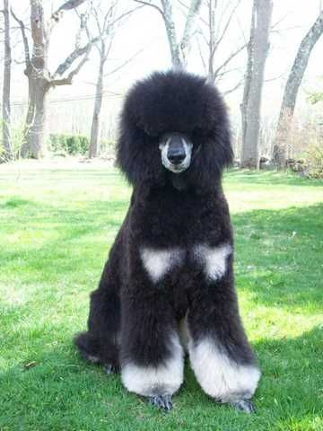 Swiftwater S Fate Stepped In Andy Standard Poodle Poodle