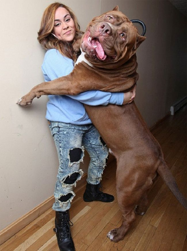 This Is The Largest Pit Bull In The World And Hes Also The - The worlds biggest pit bull just became a dad wait until you see his puppies