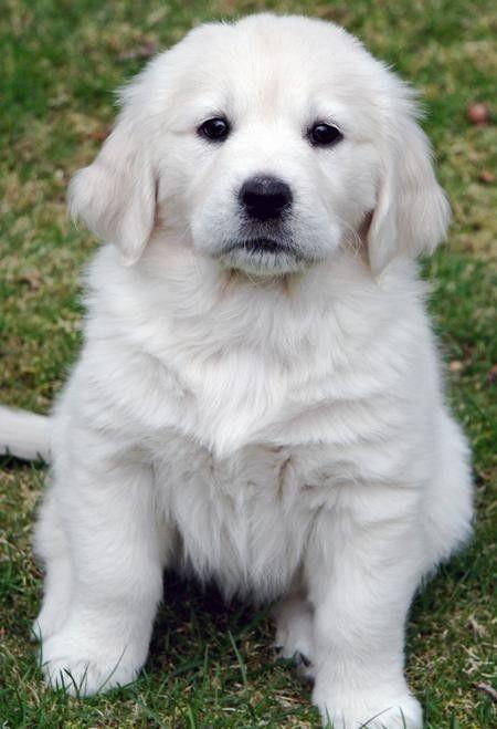 English Cream Golden Retriever White Golden Retriever Puppy