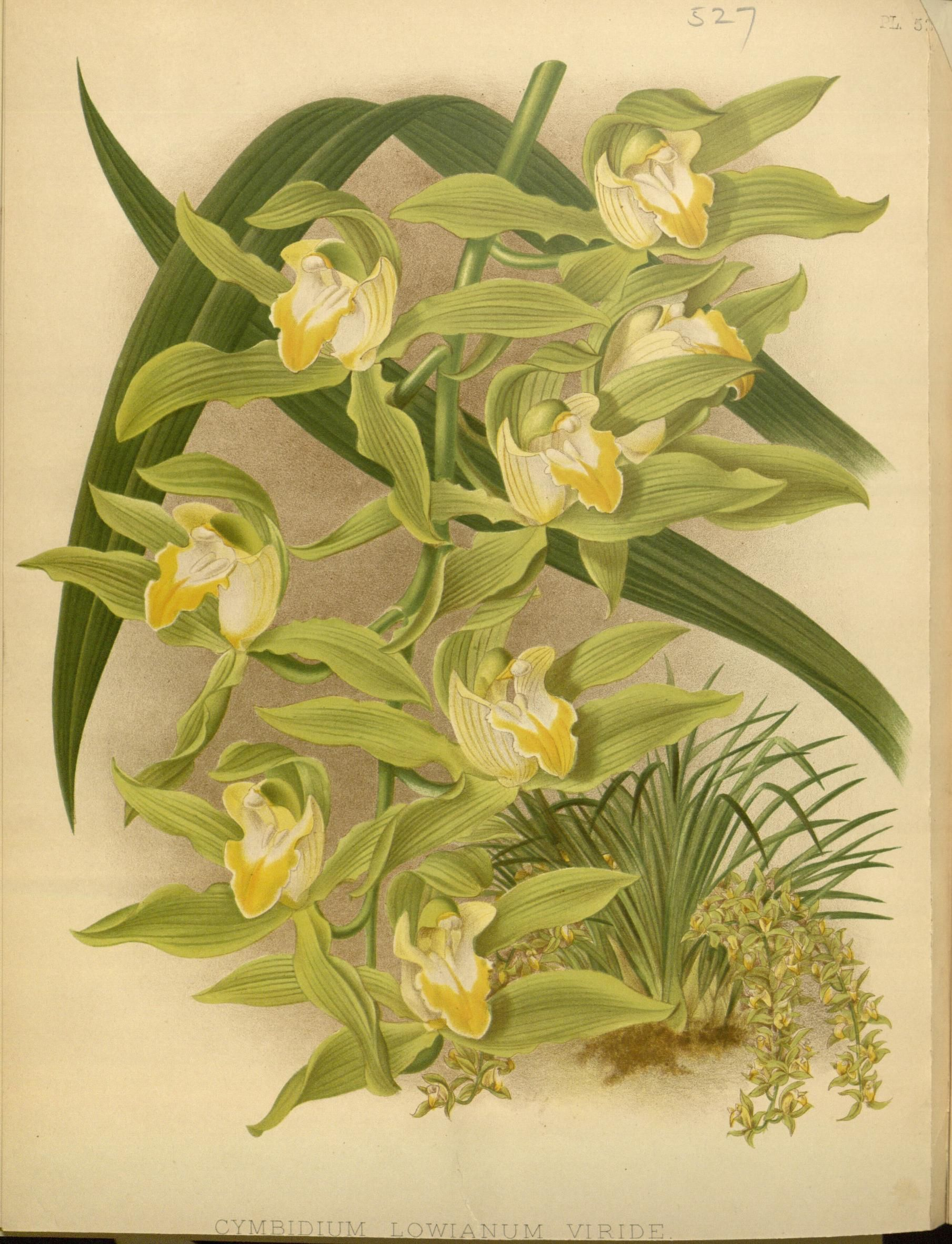 1897 - Orchid album : - Biodiversity Heritage Library