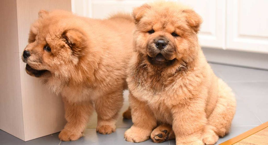 Chow Chow Names Over 100 Magnificent Names For Impressive Pups