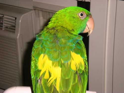 KIKI is an adoptable Parrot (Other) Bird in Maspeth, NY Say hello to KIKI, who is a Mueller's Parrot, a/k/a Blue-backed or Azure-rumped Parrot, a s ... ...Read more about me on @Petfinder.com.com