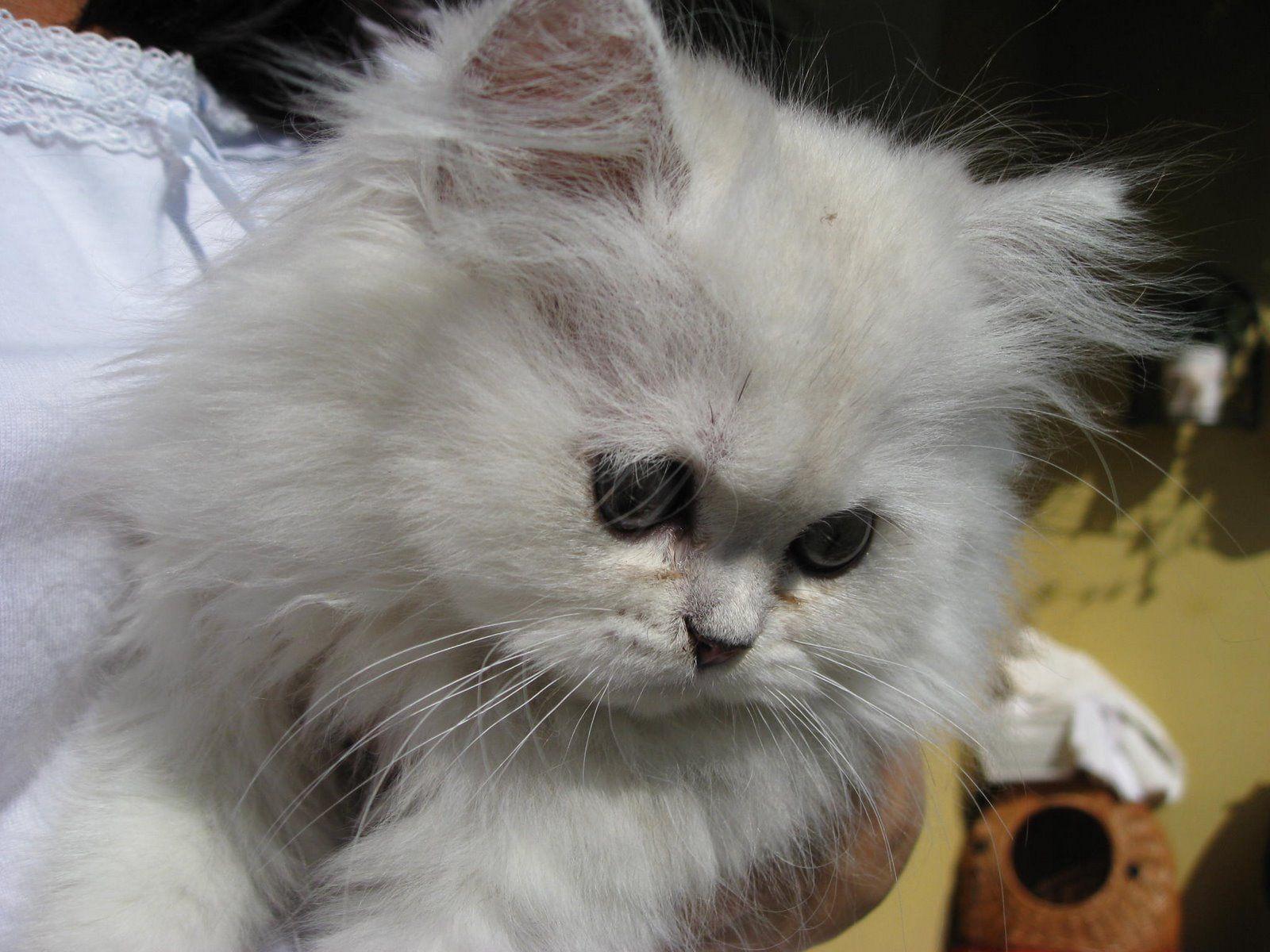 Chinchilla Persian Cat Photography Persian cat, Cat