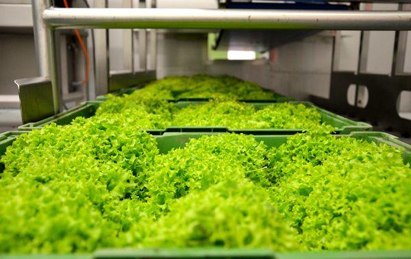 Verarbeitung  NICO Obst & Gemüse ist der Spezialist im Bereich Verarbeitung. Es wird mit modernsten Maschinen gearbeitet. Unsere Ware wird nie lange gelagert sondern gleich weiterverarbeitet, um unseren Kunden die Frische zu garantieren. Egal ob geputzt, gewaschen, geschält, geschnitten oder gleich verarbeitet und verpackt. Als Großhandelsbetrieb mit einer hauseigenen Verarbeitung können wir schnell und individuell auf die Wünsche unserer Kunden reagieren.