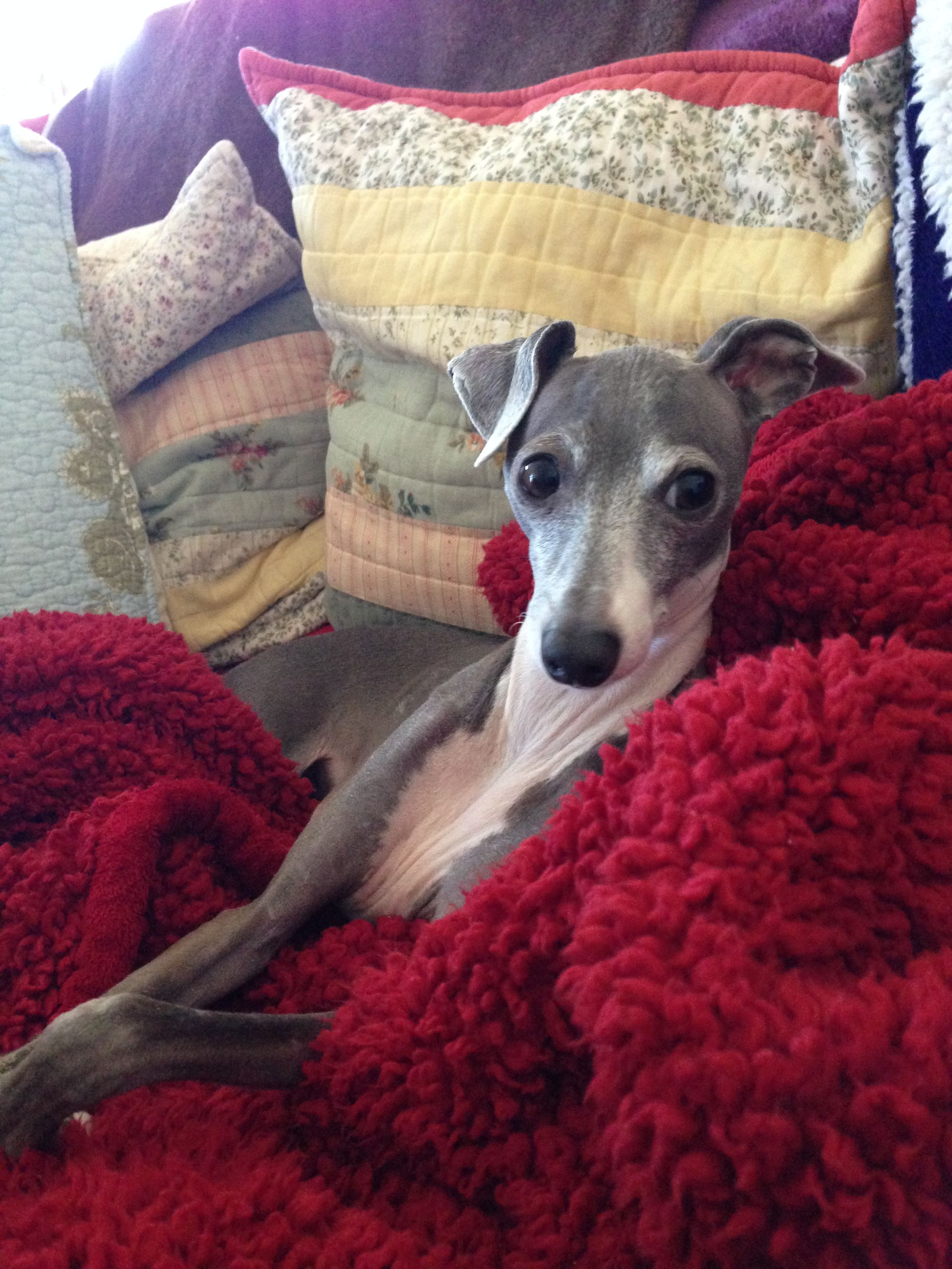 Italian Greyhound - reminds me of our dog!