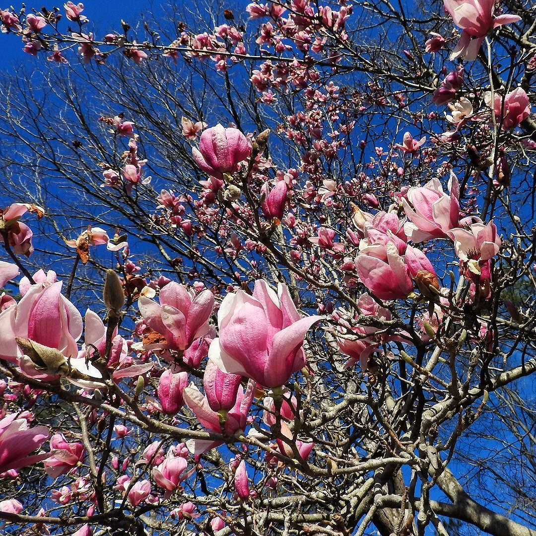 Ruth Happel On Instagram Saucer Magnolia After Returning From Texas I Took A Short Trip To South Carolina Find Magnolia Trees Saucer Magnolia Tree Magnolia