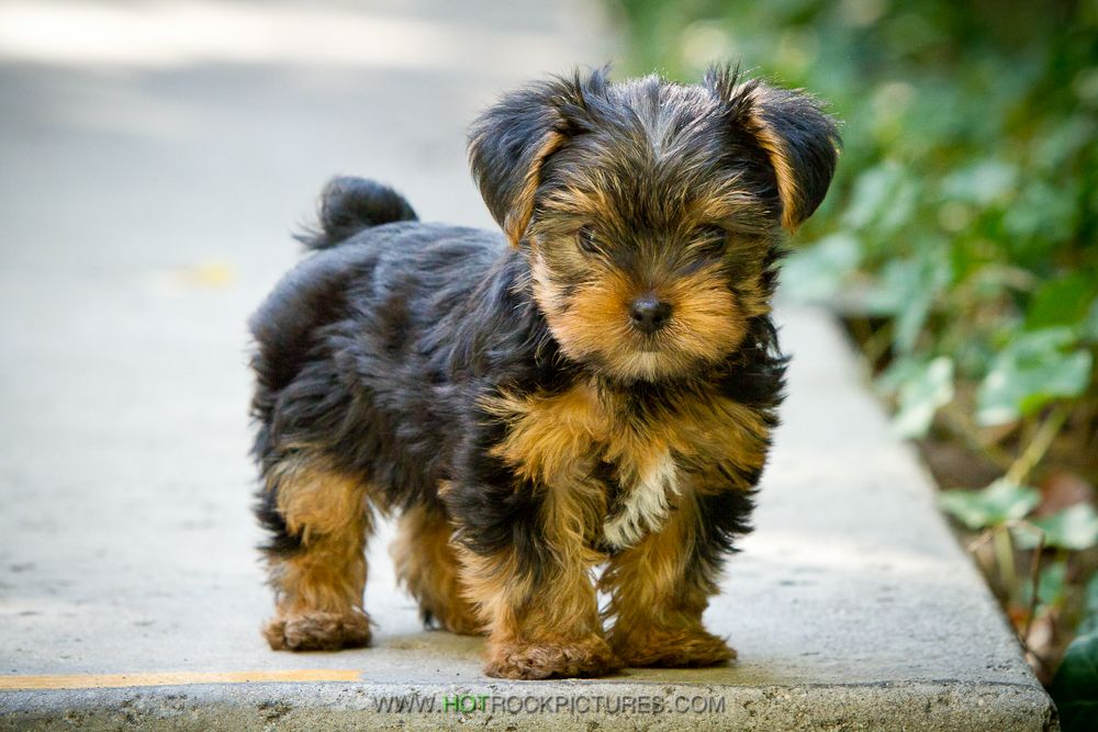 8 Week Old Yorkie Puppy Photo By Sami Ansari Of Hot Rock Pictures