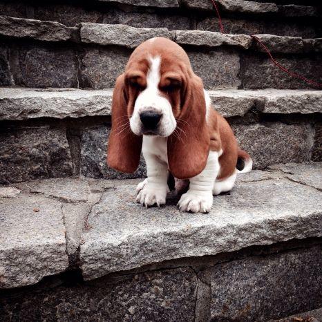 Most Adorable Basset Hound Pup Ever Basset Puppies Hound Puppies Basset Hound Puppy