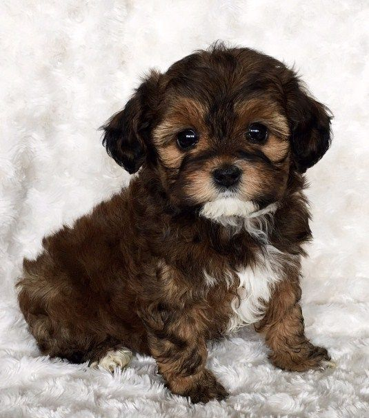 Maltipoo Puppies for Sale Near Me cuteteacuppuppies in
