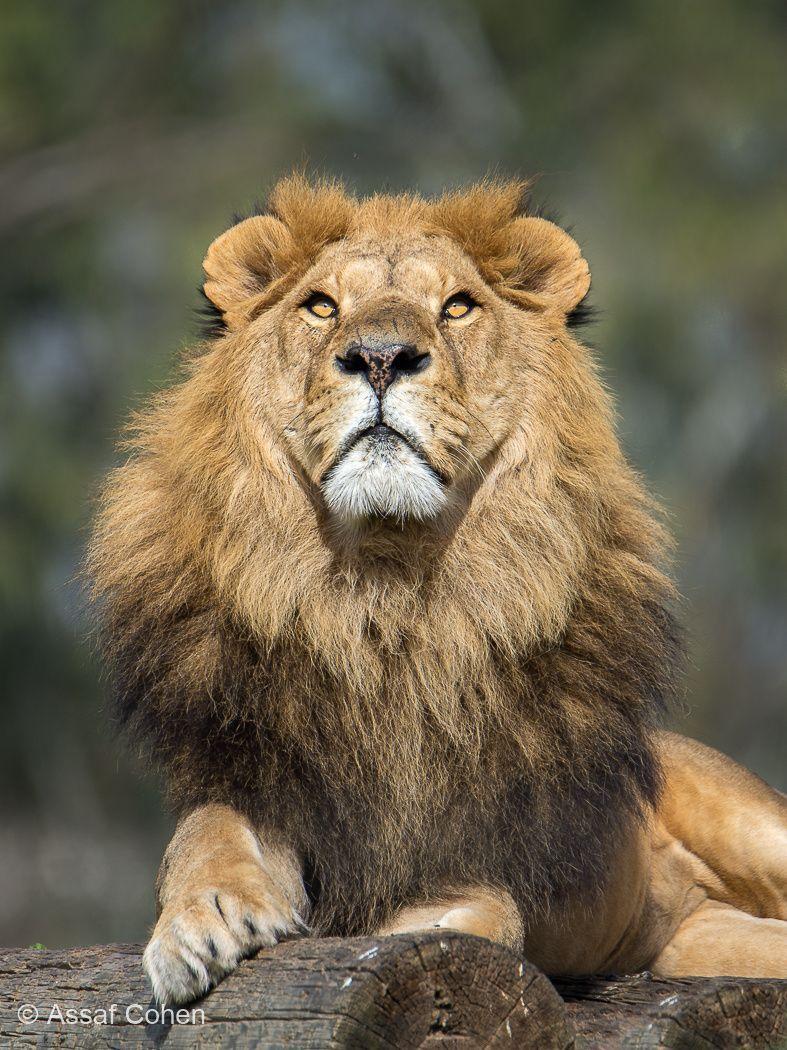 lion by Assaf Cohen Small wild cats, Jungle cat world, Lion