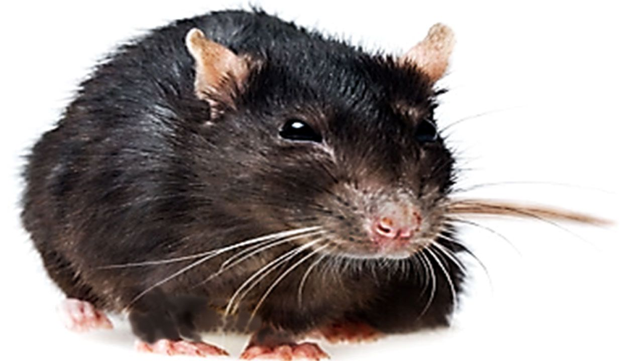 sewer rats | sewer_rat | SEWER (Brown, Norway) RATS | Pinterest ...